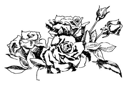 Vintage beautiful garden roses. Vector ink hand drawn illustration isolated on white background.