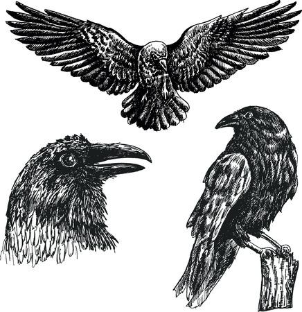 Black raven bird vector sketch icon set. Illustration