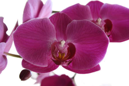 Purple large flowers of an orchid on a white background Stock Photo - 7609533