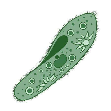 protozoa: Paramecium of the phylum Ciliophora isolated on white background. Vector illustration. Illustration