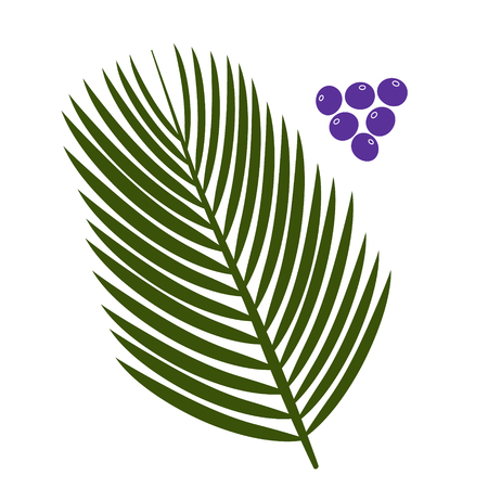 acai berry: Acai palm leaves and acai berries vector illustration isolated on white background. Superfood acai berry fruit. Illustration