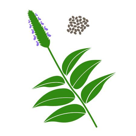 semilla: Chia rama y las semillas de chía aislados sobre fondo blanco.