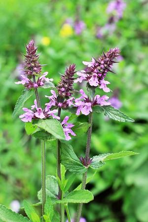 plantas medicinales: woundwort Marsh (lat.Stachys palustris). plantas medicinales silvestres de Siberia