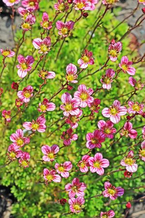 groundcover: Groundcover garden plant - Arends Saxifraga (Saxifraga arendsii). A group of flowering plants with pink flowers
