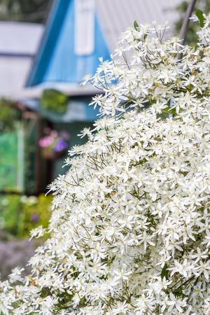 Blumen Clematis Paniculata (lat. Clematis Paniculata). Zahlreiche ...