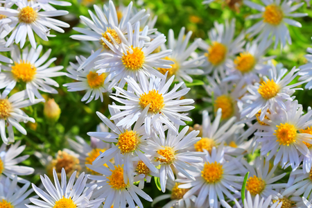 hardiness: Prairie Aster ( lat. Aster amellus ). Wild plant of Siberia in the period of flowering Stock Photo