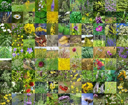 siberia: Wild medicinal flora of Siberia. A collage of plants growing on the territory of Siberia