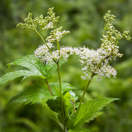 Meadowsweet (Latin name Filipendula ulmaria). Medicinal plant in the natural environment of growth, Russia,Siberia