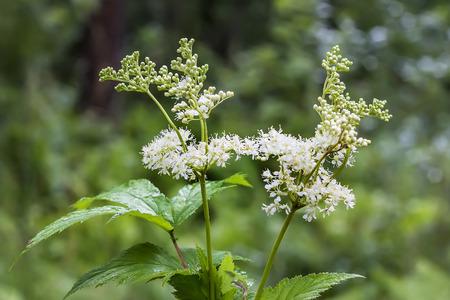 Meadowsweet (Latin name Filipendula ulmaria). Medicinal plant in the natural environment of growth, Russia,Siberia