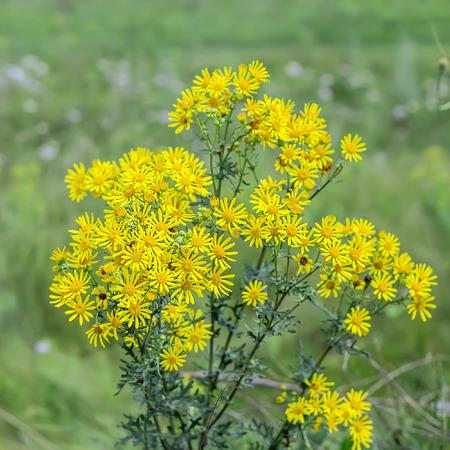 Jacobea vulgaris or Senecio Jacob ( lat. Jacobaea vulgaris, Senecio jacobaea L.). Wild poisonous and medicinal plant of Siberia Zdjęcie Seryjne