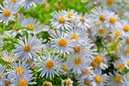 Prairie Aster ( lat. Aster amellus ). Wild plant of Siberia in the period of flowering Stock Photo