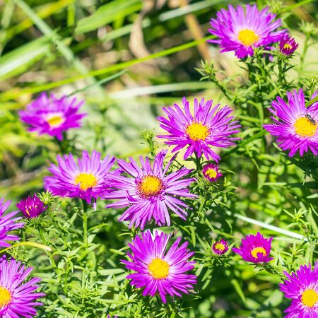 hardiness: The cushion Aster (Aster dumosus). Autumn perennial Aster with purple flowers Stock Photo