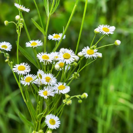 period: The annual melkolepestnik ( Peucedanum morisonii ). Plant in flowering period