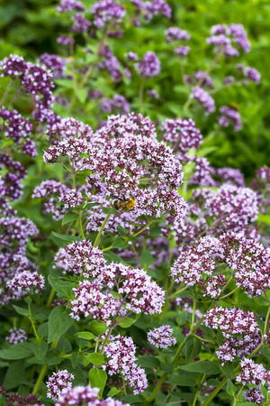herbaceous: Medicinal plant Oregano ( Latin name Origanum ), a genus of herbaceous plants of the family Lamiaceae (Lamiaceae). Plant in flowering period Stock Photo
