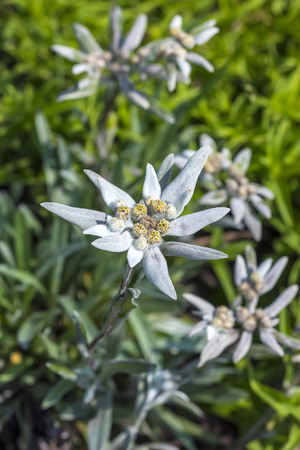 asteraceae: Edelweiss (lat. Leontopodium) genus of dicotyledonous herbaceous plants of the Aster family (Asteraceae). Plant in flowering period