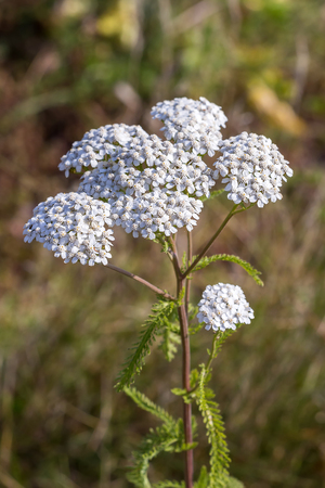 Medicinal wild herb Yarrow ( Achillea millefolilium ). The plant during flowering with pink-colored flower , closeup
