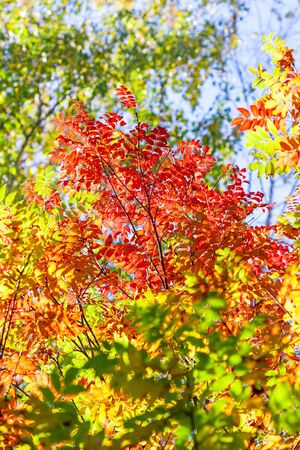 sorbus: Autumn landscape. Red leaves of mountain ash in backlighting Stock Photo