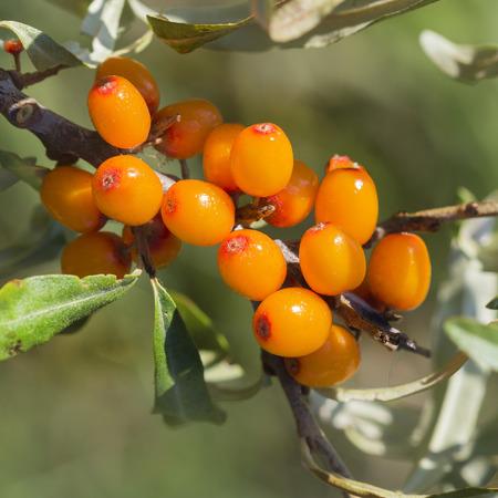 Wild Bush Buckthorn Rusinova ( lat. Hippophae rhamnoides ). Ripe berries on the branches