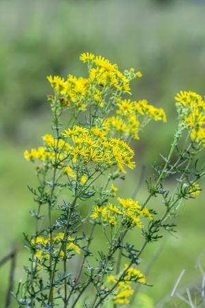 lat: Jacobea vulgaris or Senecio Jacob ( lat. Jacobaea vulgaris, Senecio jacobaea L.). Wild poisonous and medicinal plant of Siberia Stock Photo