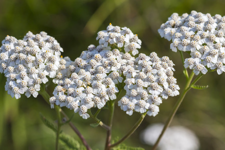 yarrow: Medicinal wild herb Yarrow ( Achillea millefolilium ). The plant during flowering with pink-colored flower , closeup