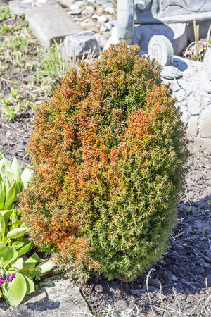 yellowing: The spring sun burns the juniper. Dieback and yellowing of the needles on the juniper Stock Photo
