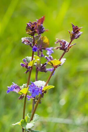 Medicinal plant - Boudreau hederacea (Glechoma hederacea). Flowering plant 스톡 콘텐츠