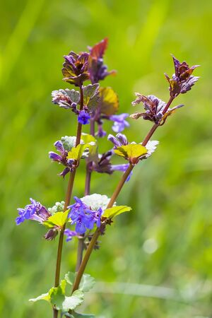 medicinal plant: Medicinal plant - Boudreau hederacea (Glechoma hederacea). Flowering plant Stock Photo