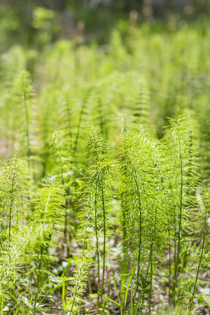 lat: Horsetail meadow (lat. Equisetum pratense). The young shoots in the spring