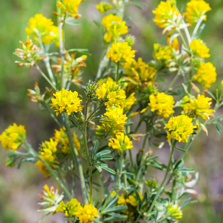falcata: Sickle alfalfa or yellow ( Latin name Medicago falcata) is a perennial herb; the species of the genus Medicago) of the Legume family (Fabaceae)