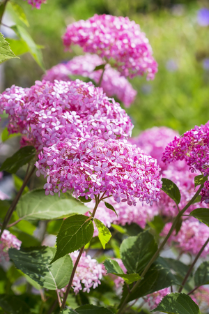 Pink hydrangea tree varieties The pink annabelle. Decorative varietal flowering hardy shrub Stock Photo