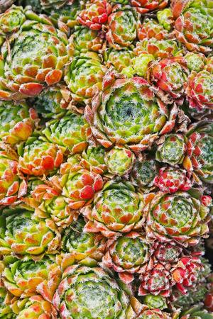 enano: Joven o jara (lat. Sempervivum) es un género de plantas de la familia Crassulaceae Foto de archivo