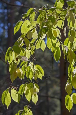 ferrous: Tree Prunus maackii (Prunus maackii; Padus maackii). Branch closeup Stock Photo