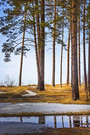 siberia: Spring landscape in the pine forest. Novosibirsk oblast, Siberia, Russia Stock Photo