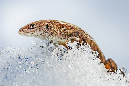 lacerta: Sand lizard ( lat. Lacerta agilis ). In the spring a lizard in the snow after hibernation