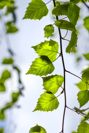 lat: Silver birch (lat. Betula pendula). Branch with young green leaves close-up
