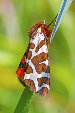 Butterfly bear Kaya ( lat. Arctia caja ) is a moth of the family bear