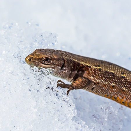 Sand lizard ( lat. Lacerta agilis ). In the spring a lizard in the snow after hibernation