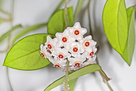 Blooming Hoya fleshy ( lat. Hoya carnosa ).A popular houseplant for vertical gardening Stock Photo