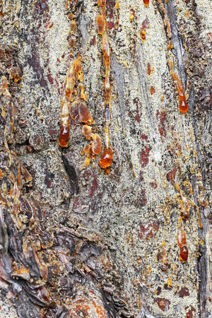 pinaceae: Pine tar on a tree trunk. Coniferous tree with the resin Stock Photo