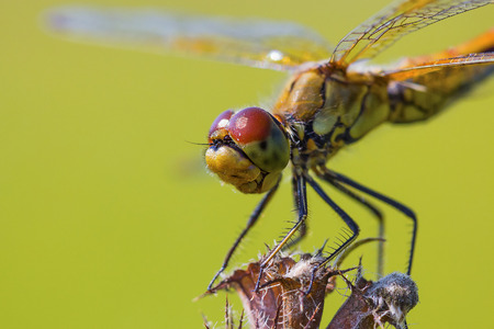 sympetrum: Insect Siberia Yellow Dragonfly (lat. Sympetrum flaveolum) Stock Photo