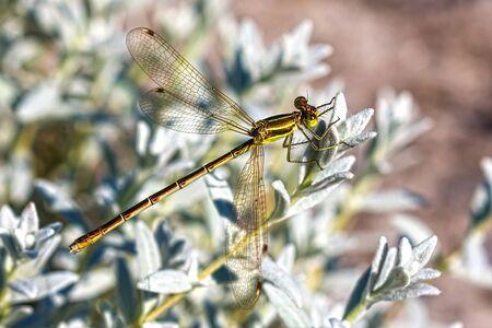 odonata: Dragonfly family Lucky (lat.Lestidae). Dragonfly closeup Stock Photo