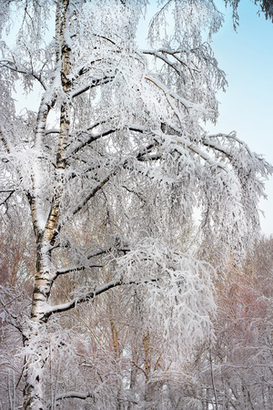 novosibirsk: Russian winter. Birch grove after snowfall. Russia, Siberia, Novosibirsk region