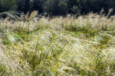 plants species: Feather hairlike ( lat. Stipa capillata). Perennial monocotyledonous herbaceous plant; a species of the Grass family Gramineae, or Grasses (Poaceae).Wild plants of Siberia