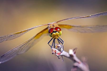siberia: Insect Siberia Yellow Dragonfly (lat. Sympetrum flaveolum) Stock Photo