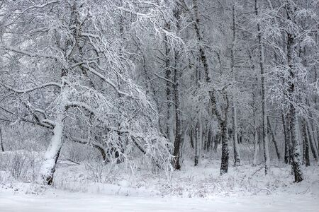 desolated: Birch forest after a snowfall. Western Siberia, Russia Stock Photo