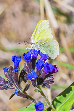 Day Gonepteryx butterfly (Gonepteryx) feeds on nectar from the blossom of the softest Lungwort (Pulmonaria dacica Simonk) Stock Photo