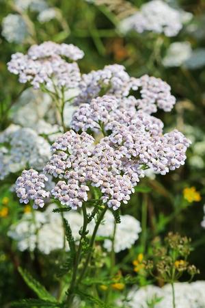 millefolium: Yarrow (lat. Achillea millefolium). Wild medicinal plants