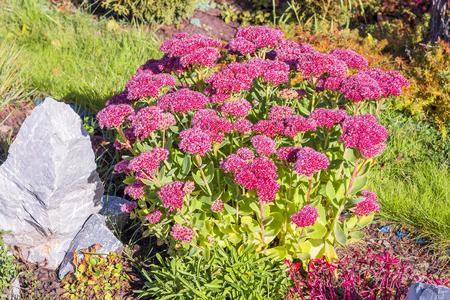 period: Sedum prominent (Sedum spectabile). Decorative garden plant in flowering period Stock Photo