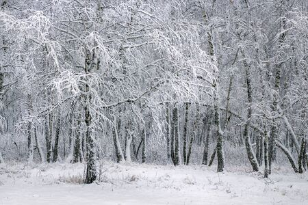 siberia: Birch forest after a snowfall. Western Siberia, Russia Stock Photo