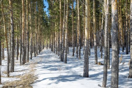 Reforestation. Artificially planted pine forest. Novosibirsk oblast, Siberia, Russia